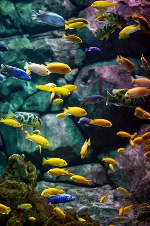 discus fish: fishes in an aquarium ... Stock Photo