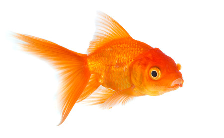 simple fish: Gold fish isolated on a white background.