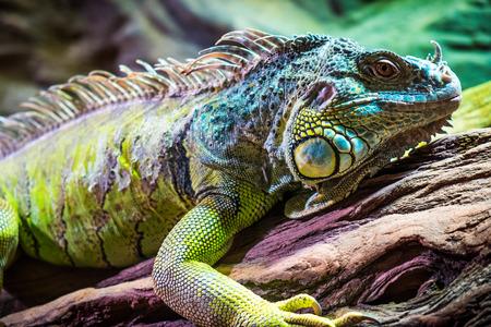 lagartija: Lagarto que se sienta en un �rbol. Foto de archivo