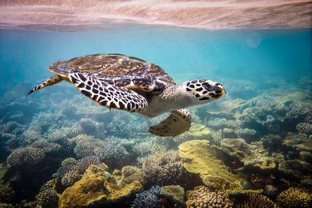 Hawksbill Turtle - Eretmochelys imbricata floats under water.  Stock Photo