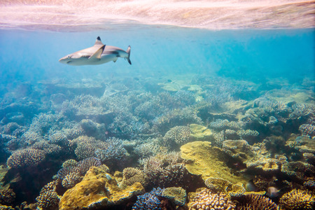 soft corals: Reef with a variety of hard and soft corals and shark in the background. Stock Photo