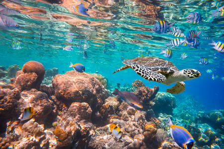 corales marinos: Tortuga Carey - Eretmochelys imbricata flota bajo el agua.