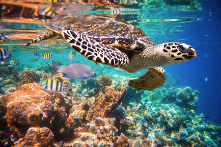 Hawksbill Turtle - Eretmochelys imbricata floats under water.  스톡 콘텐츠