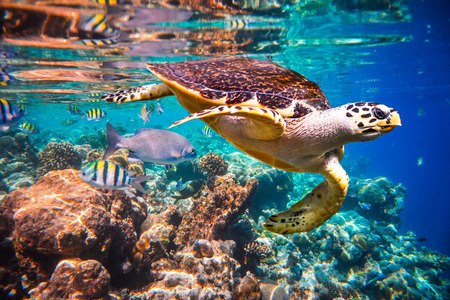 marine fish: Hawksbill Turtle - Eretmochelys imbricata floats under water.  Stock Photo