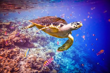 Echte Karettschildkröte - Eretmochelys imbricata schwimmt unter Wasser. Malediven - Ozean Korallenriff. Warnung - authentischen Unterwasseraufnahmen unter schwierigen Bedingungen. Ein wenig Korn und vielleicht verwischt. Lizenzfreie Bilder