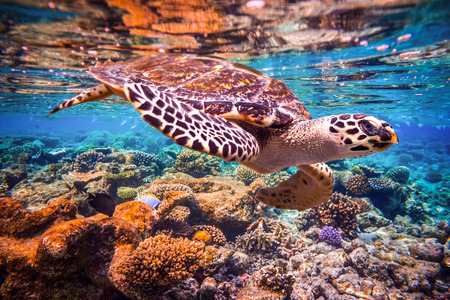 sea anemone: Hawksbill Turtle - Eretmochelys imbricata floats under water. Maldives - Ocean coral reef. Warning - authentic shooting underwater in challenging conditions. A little bit grain and maybe blurred.