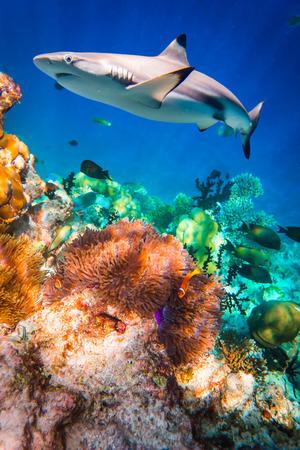 Riff mit einer Vielzahl von Hart- und Weichkorallen und Hai im Hintergrund. Konzentrieren Sie sich auf Korallen, Haie sind nicht im Fokus. Malediven Indischer Ozean Korallenriff.