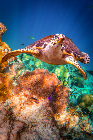 exoticism saltwater fish: Hawksbill Turtle - Eretmochelys imbricata floats under water. Maldives - Ocean coral reef. Warning - authentic shooting underwater in challenging conditions. A little bit grain and maybe blurred.