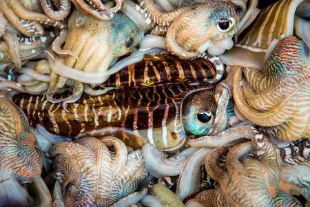 decapod: Seafood. Fresh squid tray ...
