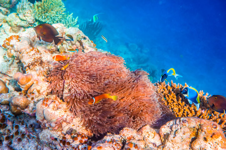 Topical saltwater fish ,clownfish - Anemonefish. Maldives - Ocean coral reef. Warning - authentic shooting underwater in challenging conditions. A little bit grain and maybe blurred. photo