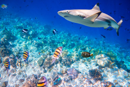 exoticism saltwater fish: Reef with a variety of hard and soft corals and shark in the background. Focus on corals, sharks are not in focus. Maldives Indian Ocean coral reef.