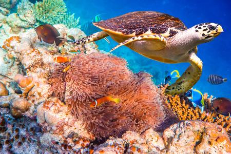 Karetschildpad - Eretmochelys imbricata drijft onder water. Malediven - Ocean koraalrif. Waarschuwing - authentieke opnamen onderwater in uitdagende omstandigheden. Een beetje graan en misschien wazig.