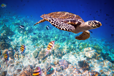 aquatic life: Hawksbill Turtle - Eretmochelys imbricata floats under water. Maldives - Ocean coral reef. Warning - authentic shooting underwater in challenging conditions. A little bit grain and maybe blurred.