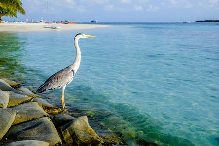 Gris Chiron sur la plage. Maldives Océan Indien.
