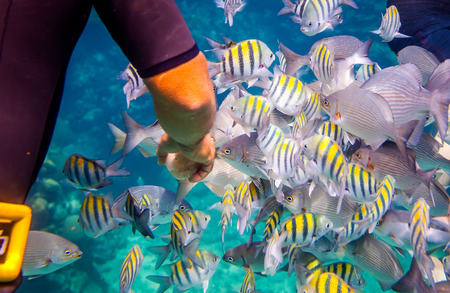 exoticism saltwater fish: Man feeds the tropical fish under water.Ocean coral reef. Warning - authentic shooting underwater in challenging conditions. A little bit grain and maybe blurred. Stock Photo