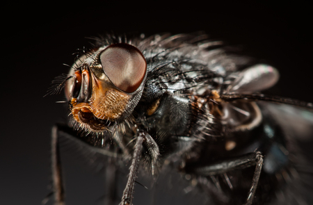 housefly: Housefly close-up on a gray background.