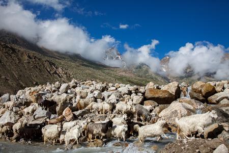 mountain goats: Mountain goats, Spiti Valley, Himachal Pradesh, India