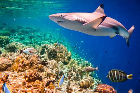 arrecife: Coral con una gran variedad de corales duros y blandos y tiburón en el fondo. Centrarse en los corales, tiburones no están en foco. Maldivas Océano Índico arrecife de coral. Foto de archivo
