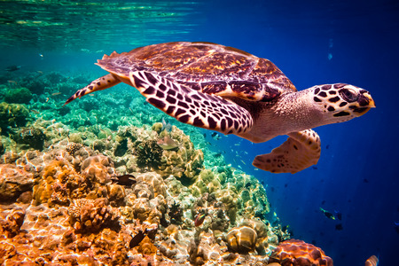 Echte Karettschildkröte - Eretmochelys imbricata schwimmt unter Wasser. Malediven Indischer Ozean Korallenriff.