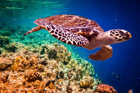 Karetschildpad - Eretmochelys imbricata drijft onder water. Malediven in de Indische Oceaan koraalrif.