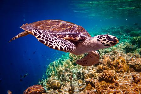 marine: Hawksbill Turtle - Eretmochelys imbricata floats under water. Maldives Indian Ocean coral reef.