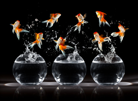 jumping: Goldfishs jumps upwards from an aquarium on a dark background Stock Photo