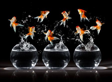 peces de colores: Goldfishs salta hacia arriba de un acuario sobre un fondo oscuro