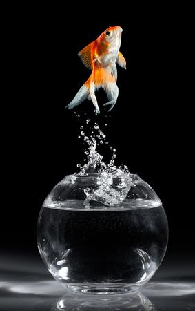 pez dorado: Goldfish salta hacia arriba de un acuario sobre un fondo oscuro