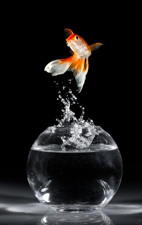 goldfish jump: Goldfish jumps upwards from an aquarium on a dark background Stock Photo