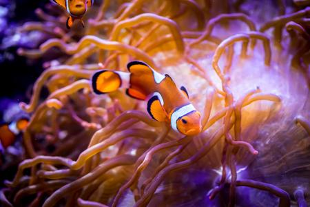 saltwater fish: Topical saltwater fish ,clownfish Anemonefish