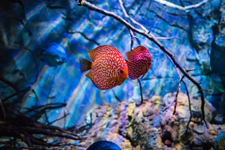 Symphysodon discus in an aquarium on a blue background Stock Photo