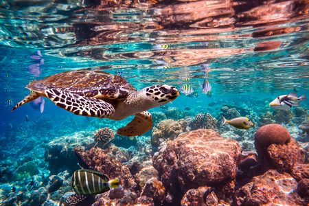 ocean water: Hawksbill Turtle - Eretmochelys imbricata floats under water. Maldives Indian Ocean coral reef.