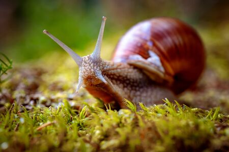parasite: Helix pomatia also Roman snail, Burgundy snail, edible snail or escargot, is a species of large, edible, air-breathing land snail, a terrestrial pulmonate gastropod mollusk in the family Helicidae.