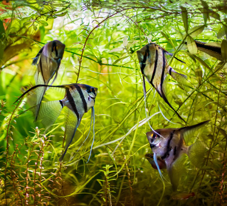freshwater aquarium plants: Angelfish Pterophyllum scalare