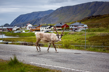 Reindeer in the North of Norway, Nordkapp