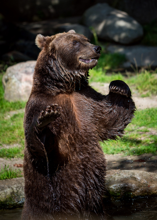 Brown bear (Ursus arctos) is the most widely distributed bear and is found across much of northern Eurasia and North America.