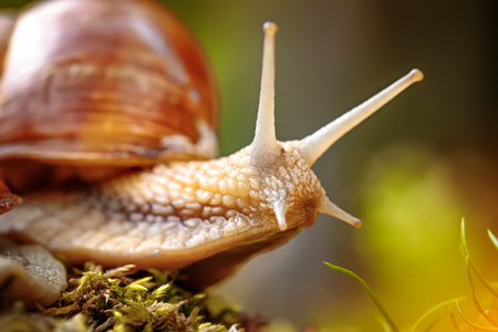 Helix pomatia también caracol romano, caracol de Borgoña, caracol comestible o caracol, es una especie de caracol terrestre grande, comestible, que respira aire, un molusco de gasterópodo de pulmón terrestre de la familia Helicidae.