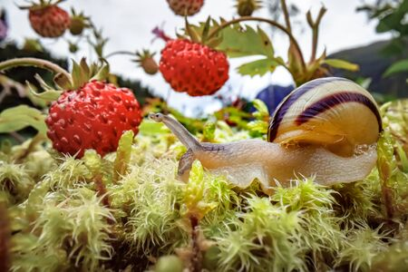 Snail close-up, looking at the red strawberries 写真素材 - 128819929