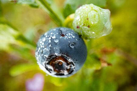 Blueberry antioxidants of  nature. Banco de Imagens