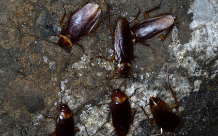 American cockroaches gather in the sewer home to find food. Banco de Imagens