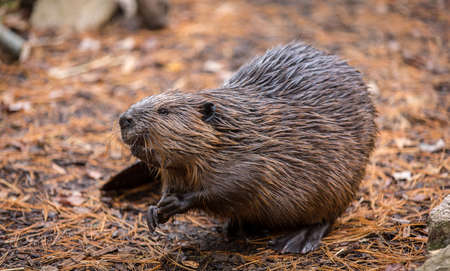 After a quick swim in water, a North American Beaver sits partially crouched on its hind legs on the forest floor
