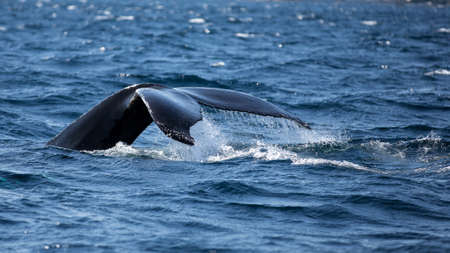 Whale tail fluke. A humpback whale dives into the Atlantic Ocean.