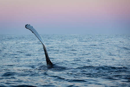 pectoral: Caught between splashes, the humpback whale holds its pectoral fin high before slapping it against the water.