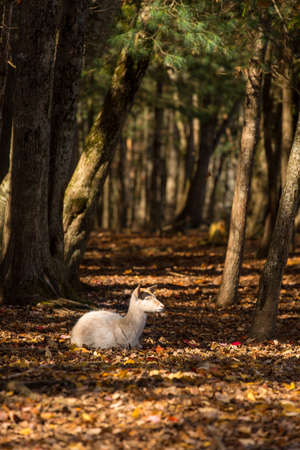 autmn: Young fallow deer in a forest setting in autmn surrounded by fallen leaves