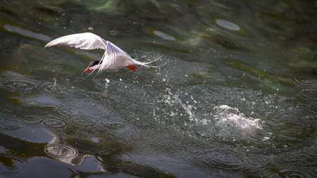 Common Tern flying out of the water after diving for food. Taken in the harbor of Flatrock, Newfoundland and Labrador.