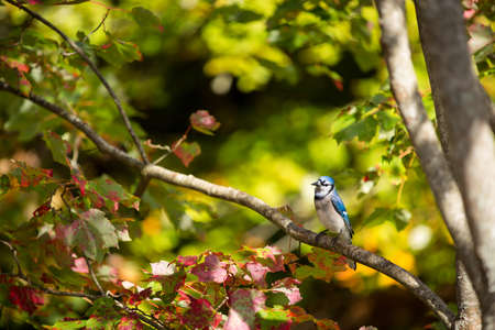 blue jay bird: Blue Jay on a tree branch with a slight head tilt. This is a common bird in backyards in Canada.