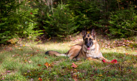 german shepherd on the grass: German Shepherd dog laying down with a frisbee in the grass