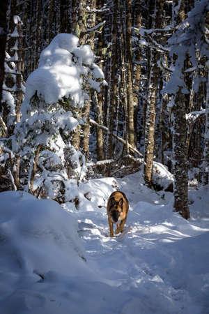 Deutsch Schäferhund, der auf Spur im Schnee bedeckt Wald Standard-Bild - 38223972