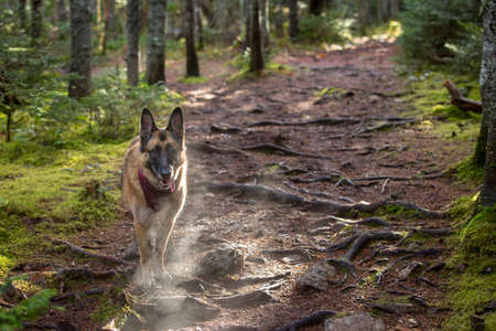 panting: German Shepherd Dog standing and panting in the woods while on a hike.
