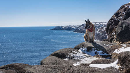 black and white newfoundland dog: Snow covered rocky coast line in Newfoundland and Labrador, Canada with sitting German Shepherd dog
